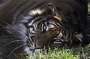Sumatran Tiger Close Up Looking At Camera