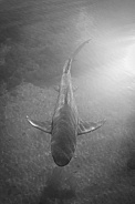 Lemon Shark - Black and white