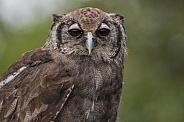 Milky Eagle Owl Close Up Face Shot