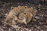 Five African lion cubs