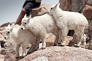 Three wild mountain goat kids
