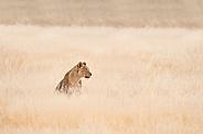 Lioness in SA