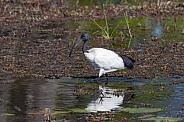 African Sacred Ibis - Okavango Delta in Botswana