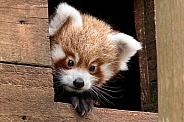 Red Panda Cub Peeking Out Of Nest Box
