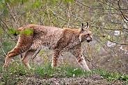 walking lynx