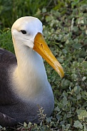 Waved Albatross - Galapagos Islands