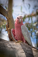 Female Galah looking at camera