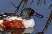 Northern Shoveler Duck (Anas clypeata)