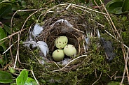 Eggs in a birds nest