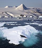 Hooded Seal on sea ice - Svalbard Islands