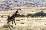 Giraffe - Damaraland - Namibia