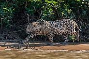 Jaguar Walking the Beach