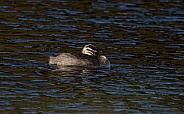Red-necked Grebe Chick Swimming in Alaska