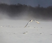 Female Snowy Owl Flying on a Misty Day