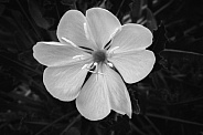 Evening Primrose in B&W