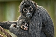 Columbian Spider Monkey with baby Close Up