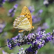 Silver-washed Fritillary On Lavender