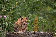 lynx on a rock