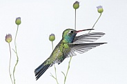 Broad-billed Hummingbird (wild male)