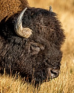 Bison, Wooly Head of Buffalo