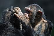 Chimps grooming