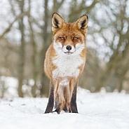 Red fox in wintertime.