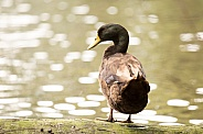 Brown duck (wild)