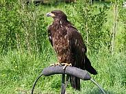 American eagle, juvenile