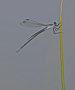 Dark Spreadwing Damselfly