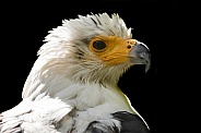 African Fish Eagle Head Shot Close Up