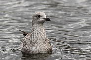 Young Herring Gull on Water
