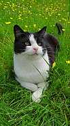 Domestic Cat Tuxedo Shorthair