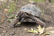 Red-footed tortoise (Chelonoidis carbonarius)