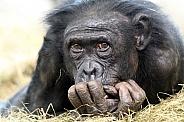 Aorable Bonobo portait