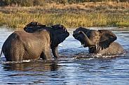 African Elephants - Khwai River - Botswana
