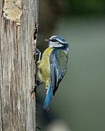 blue tit