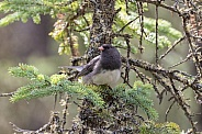 Dark-eyed Junco in a Tree