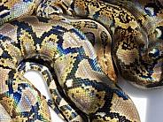 Reticulated python