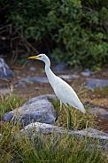 Cattle Egret - Galapagos Islands - Ecuador