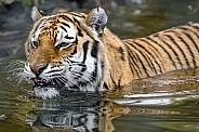 Amur Tiger Swimming