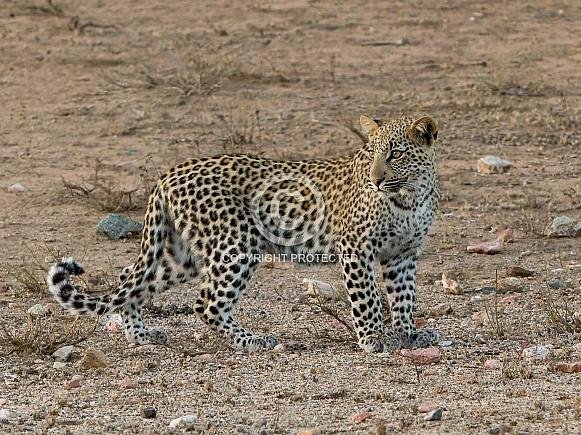 Leopard Cub Kruger National Park (Wild)