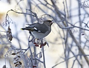 Bohemian Waxwing Eating Mountain Ash Berries