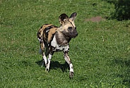 Painted Dog (African Hunting Dog)
