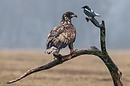 European Eagle and a magpie