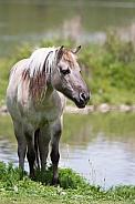 Eurasian Wild Horse (Tarpan)