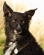 Curly-Coated Border Collie Portrait