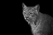 Canada Lynx Black and White Black Background