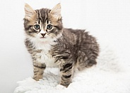Domestic Shorthair Kitten