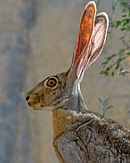 Black-tailed Jackrabbit Portrait