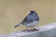 Male Dark-eyed Junco in Alaska